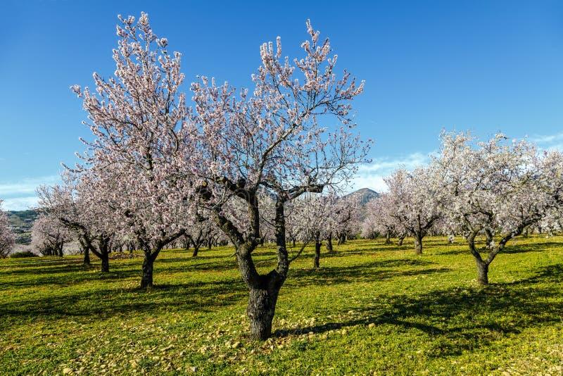 Mooie tot bloei komende kers-boom tuin in landelijk platteland royalty-vrije stock afbeeldingen