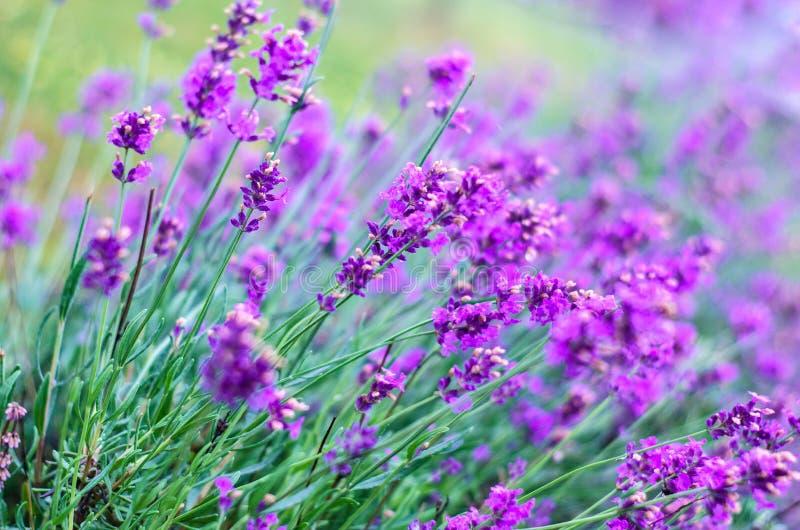 Mooie tot bloei komende wilde purpere bloem op een gebied stock afbeelding