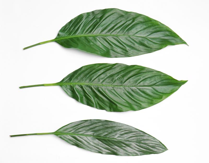 Mooie tropische bladeren op lichte achtergrond royalty-vrije stock afbeelding