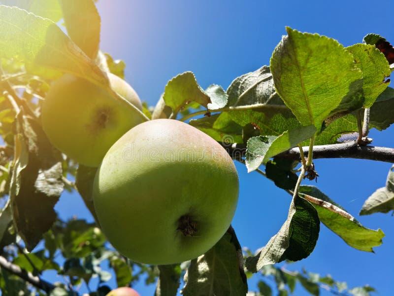Mooie tuinappel en blauwe hemel stock foto's