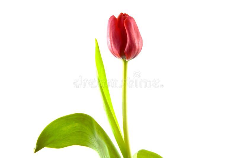 Mooie tulp stock afbeelding
