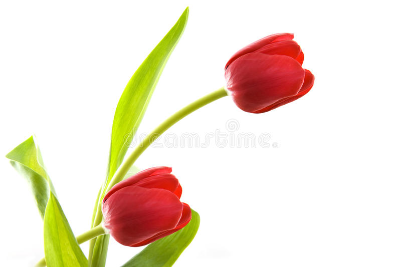 Mooie tulp royalty-vrije stock foto