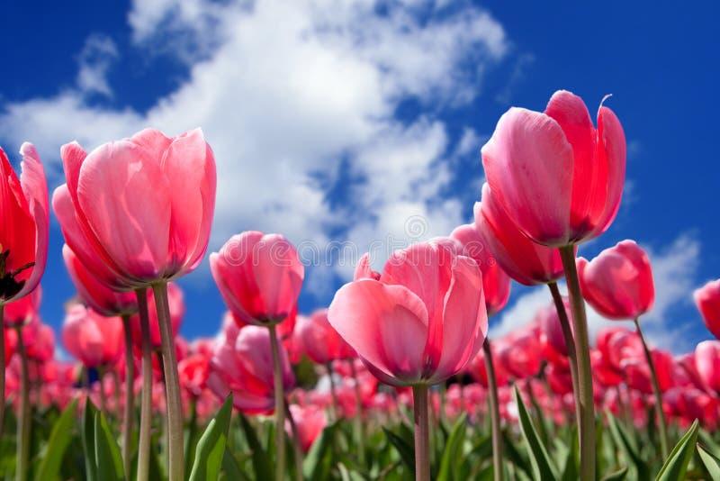 Mooie tulpen royalty-vrije stock afbeelding