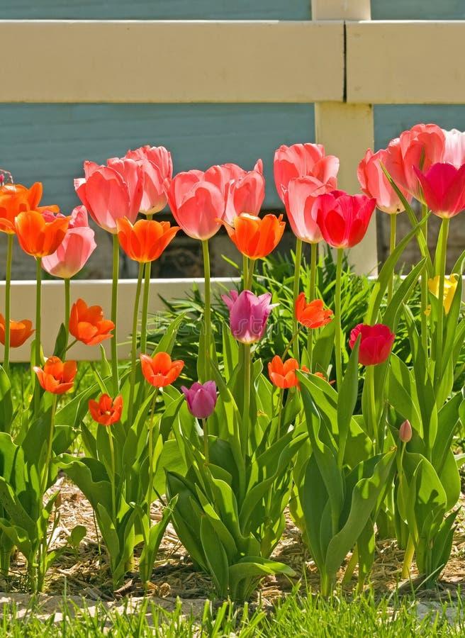 Mooie Tulpen stock foto