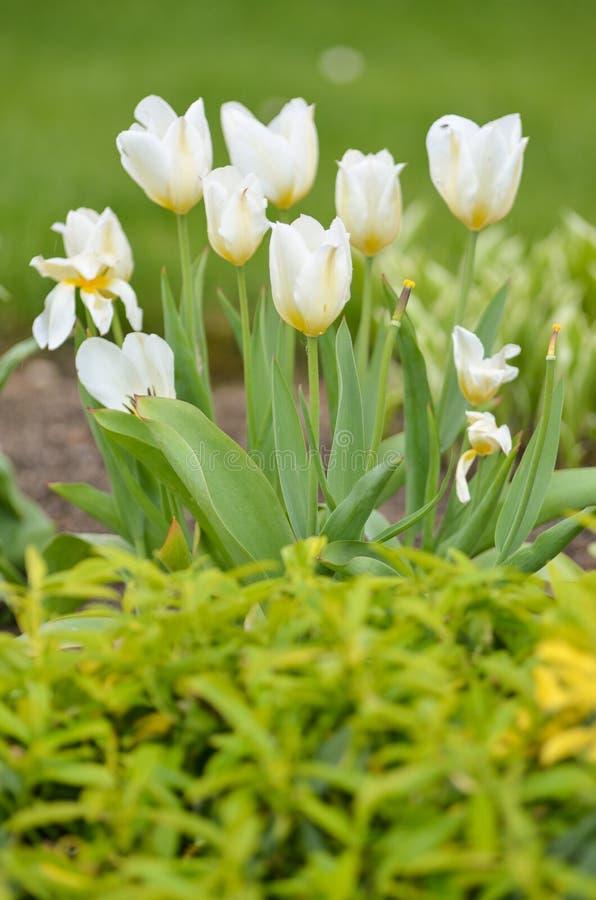 Mooie Tulpen royalty-vrije stock afbeeldingen