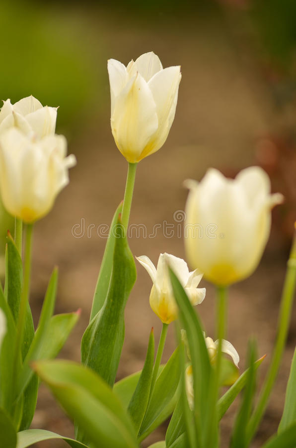 Mooie Tulpen royalty-vrije stock foto's