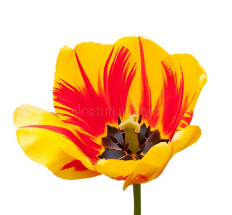 Mooie tulpen die op wit worden geïsoleerdi royalty-vrije stock foto's