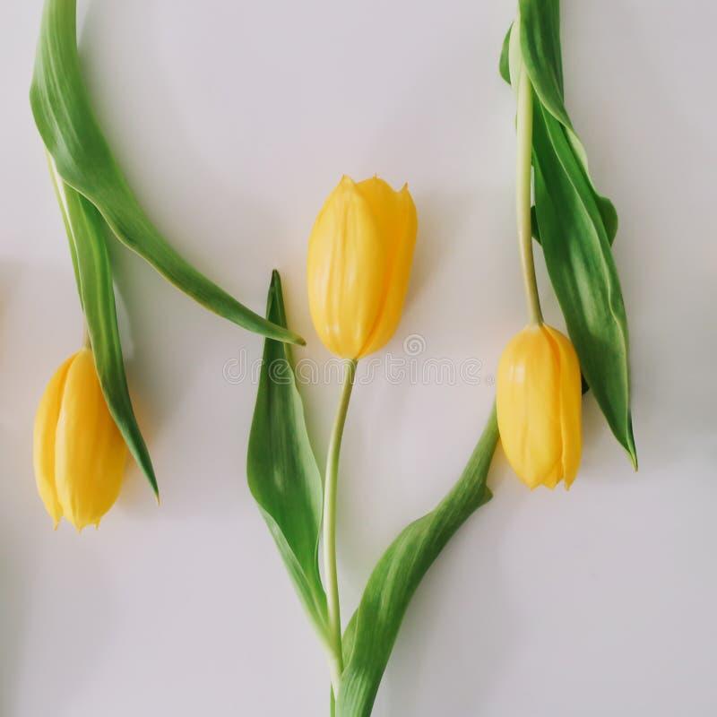 Mooie tulpen op witte achtergrond Vlak leg, hoogste mening Concept Pasen, 8 Maart enkel Geregend royalty-vrije stock fotografie