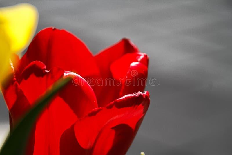 Mooie tulpenbloem op tulpengebied bij de winter of de lentedag royalty-vrije stock foto's
