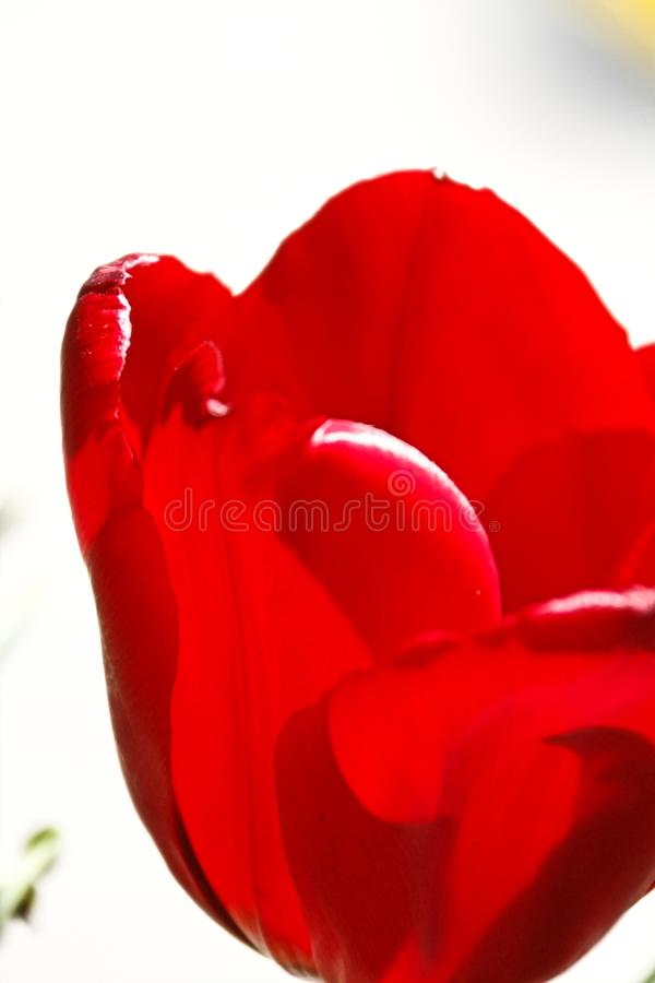 Mooie tulpenbloem op tulpengebied royalty-vrije stock foto