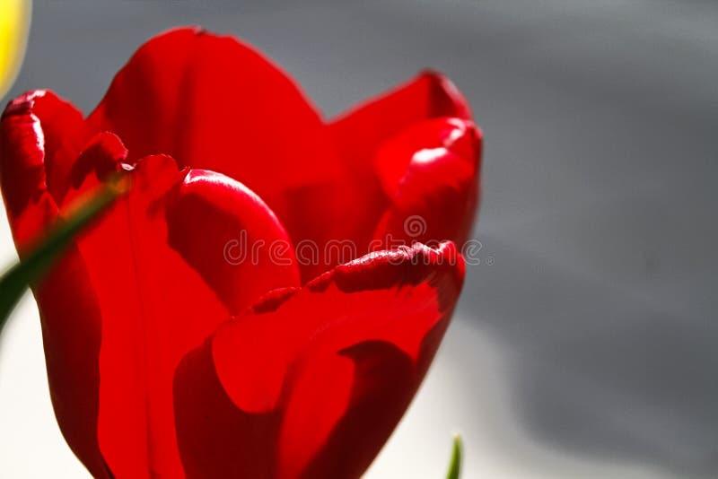 Mooie tulpenbloem op tulpengebied stock foto