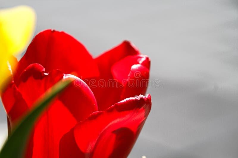 Mooie tulpenbloem op tulpengebied royalty-vrije stock fotografie