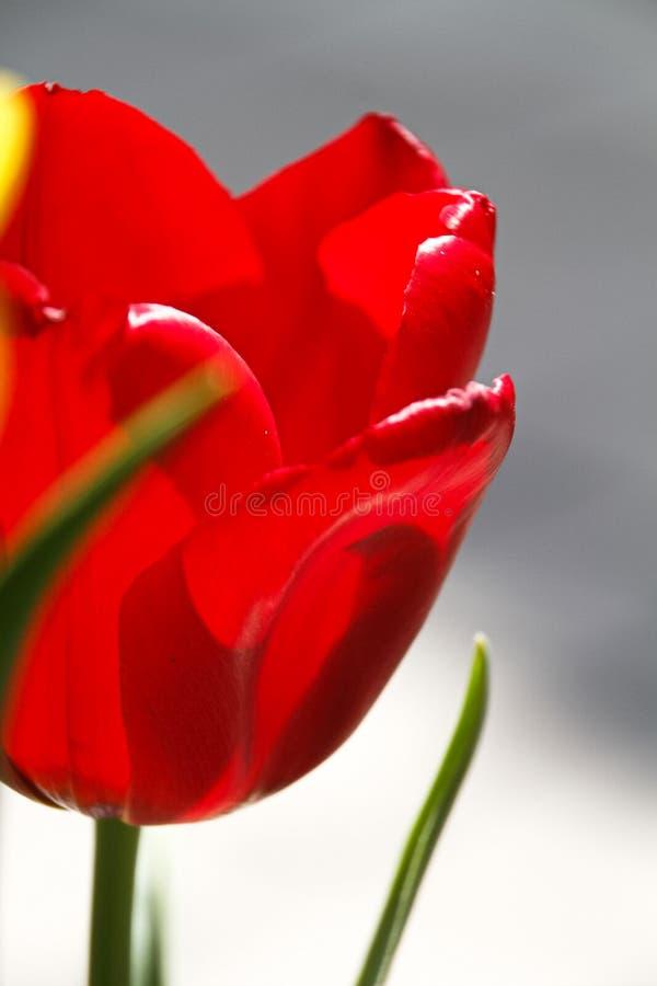Mooie tulpenbloem op tulpengebied royalty-vrije stock afbeelding