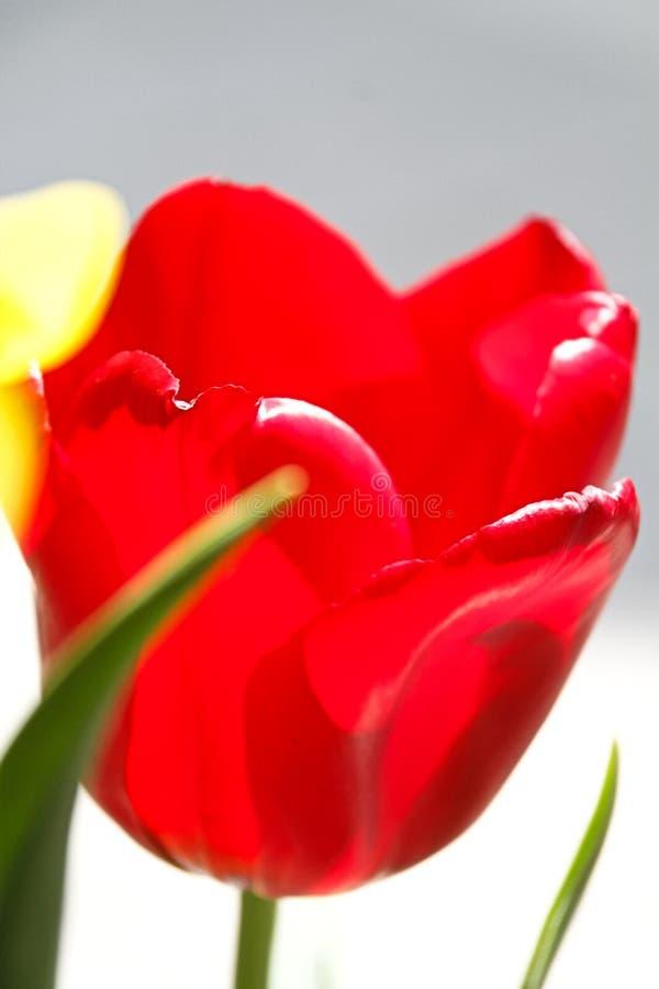 Mooie tulpenbloem op tulpengebied royalty-vrije stock foto's