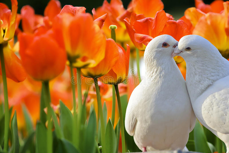 Mooie tulpenbloemen in tuin stock fotografie