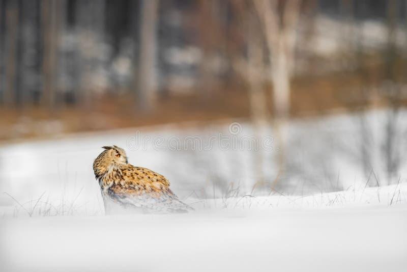 Mooie uil van Rusland, Oostelijk Siberisch Eagle Owl die, Bubo-bubo, in sneeuw zitten De winterscène met majestueuze zeldzame uil royalty-vrije stock foto