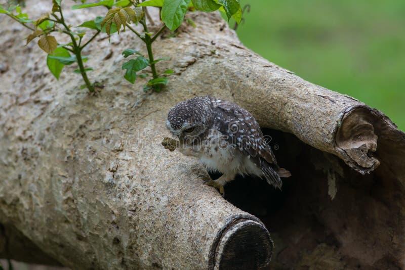 Mooie Uilvogel Bevlekte jonge uil royalty-vrije stock afbeeldingen
