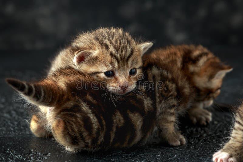 Mooie uiterst kleine babykatjes met het bont van Bengalen royalty-vrije stock fotografie