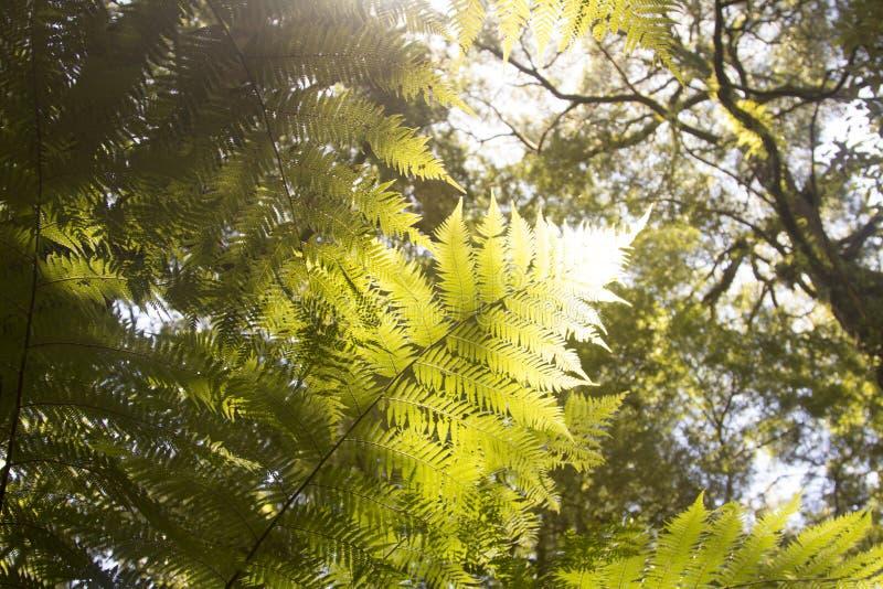 Mooie Varens in het bos en de zonneschijn aardig Australië stock fotografie