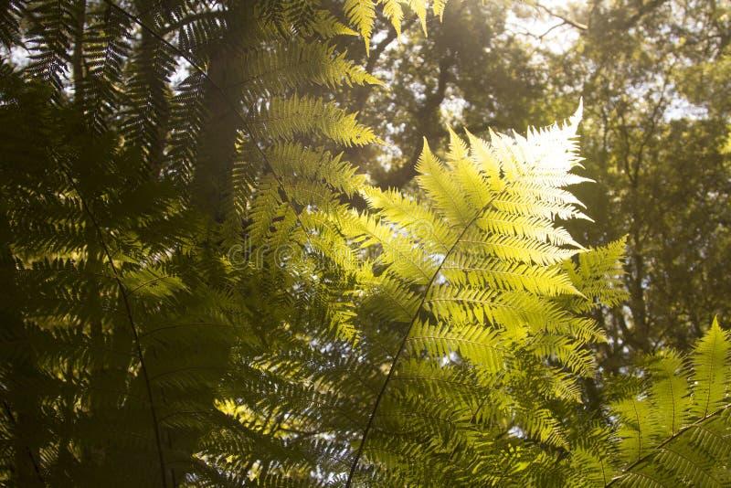 Mooie Varens in het bos en de zonneschijn aardig Australië stock afbeelding