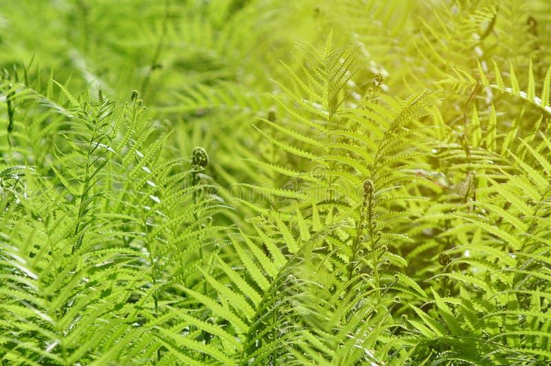 Mooie varensbladeren met zonneschijn in ochtend royalty-vrije stock afbeelding