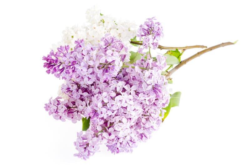 Mooie verse die lilac bloemen op witte achtergrond worden geïsoleerd royalty-vrije stock afbeeldingen