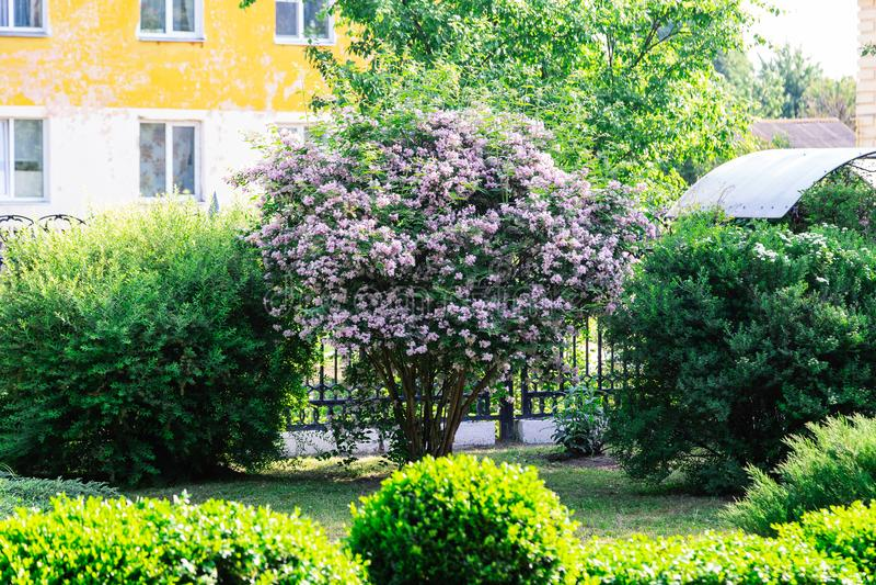 Mooie verse purpere violette bloemen Sluit omhoog van purpere bloemen De lentebloem, een tak van sering Lilac struik, sering royalty-vrije stock foto's
