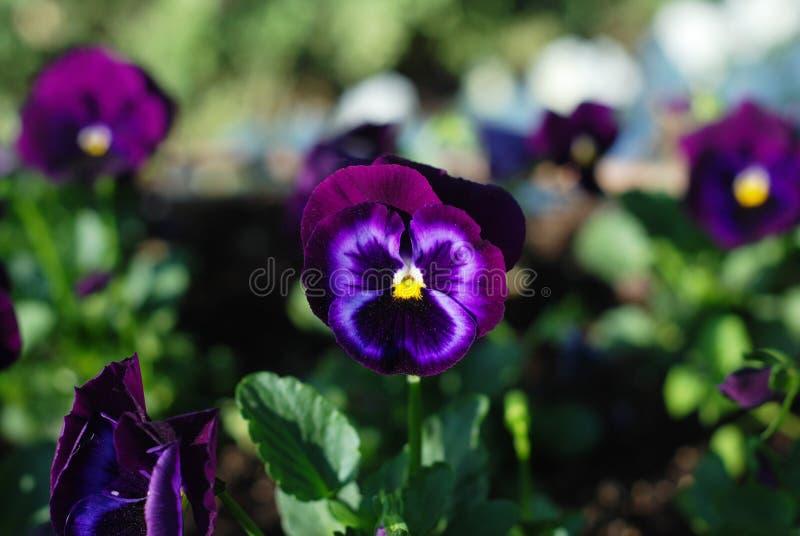 Mooie Violet Purple Spring Garden-bloemen Pansy Isoalted Sun stock fotografie
