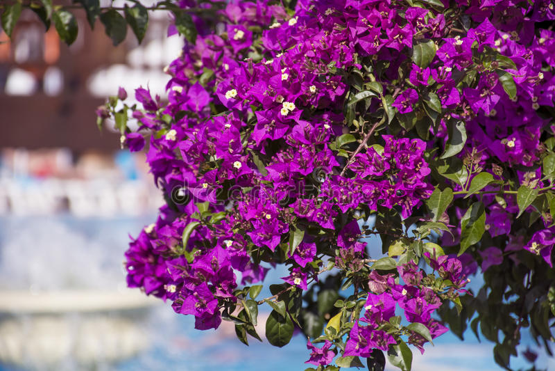 Mooie violette bougainvillea tropische bloem stock afbeeldingen