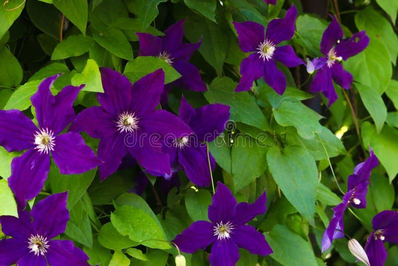 Mooie violette clematissenclose-up De clematissen die in een tuin tot bloei komen royalty-vrije stock foto's