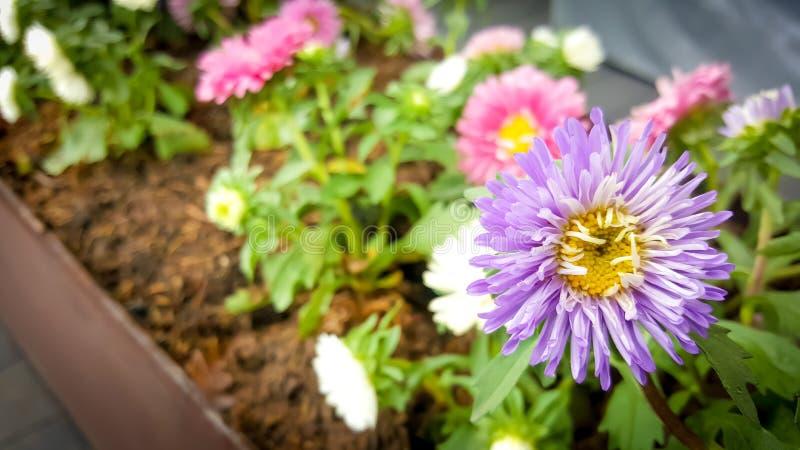 Mooie violette en roze bloeiende bloemen stock afbeelding