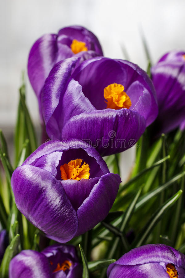 Download Mooie violette krokussen stock foto. Afbeelding bestaande uit bloem - 39118090