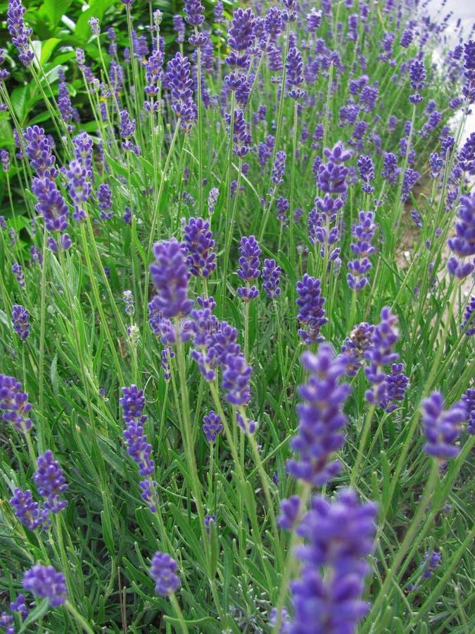 Mooie violette lavendelbloemen in tuin royalty-vrije stock afbeeldingen