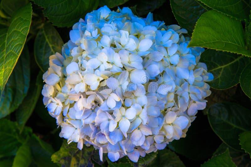 Mooie violette of purpere witte Hydrangea hortensia'sbloem stock foto's