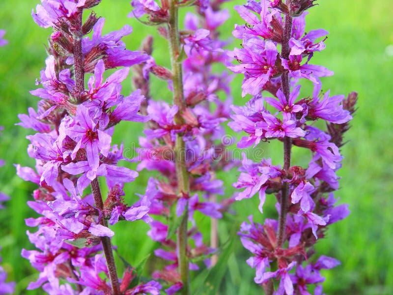 Mooie violette wilde bloemen in weide, Litouwen royalty-vrije stock foto's