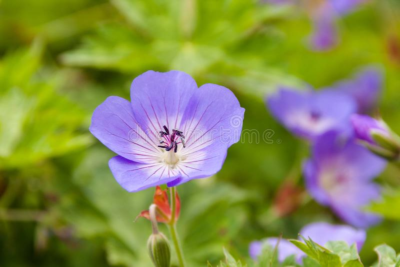 Mooie viooltjes in een botanische tuin stock afbeelding