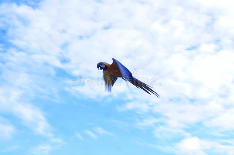 Mooie vliegende Macaw stock afbeeldingen