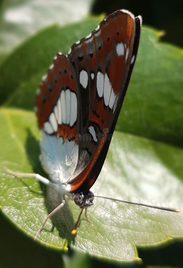 Mooie Vlinder royalty-vrije stock afbeeldingen