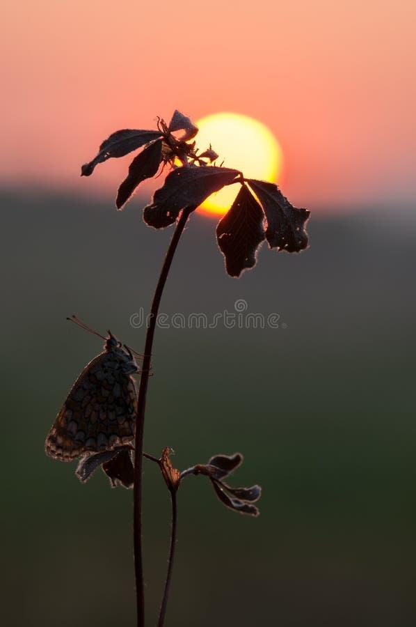 Mooie vlinder Melita op een bosbloem tegen de het toenemen zon stock afbeeldingen