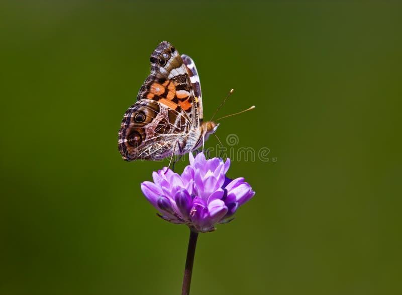 Mooie Vlinder op Bloem stock afbeelding