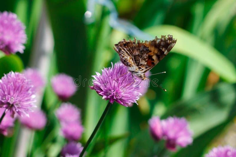 Mooie vlinder op een purpere bloem stock foto's