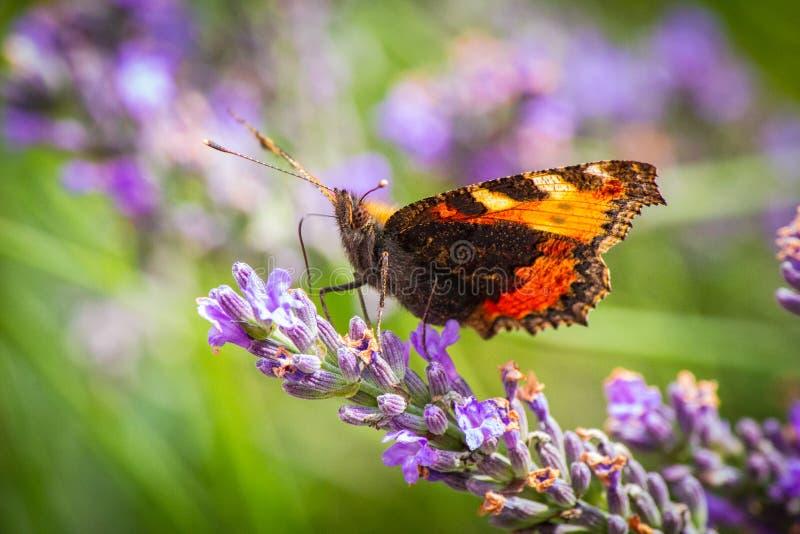 Mooie vlinder op geurige lavendel stock afbeelding