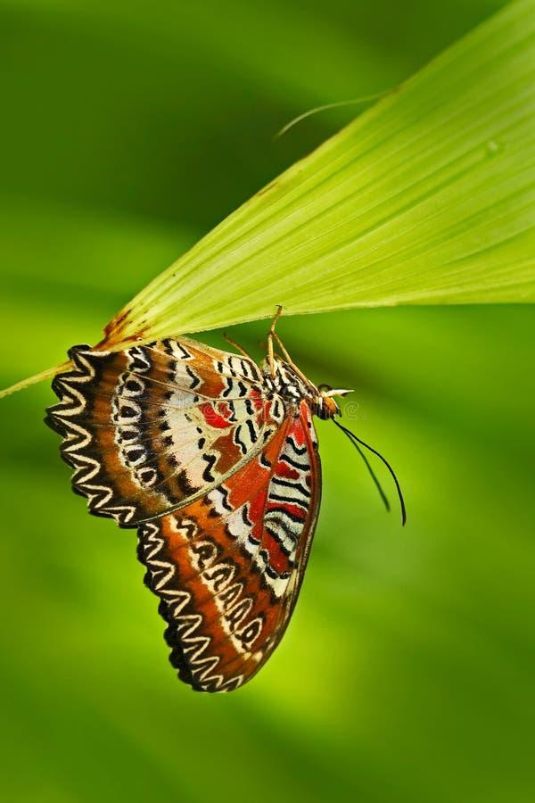Mooie vlinder van India Rode Lacewing, Cethosia-biblis, die op de groene bladeren zitten Insect in donker tropisch bos, aard h royalty-vrije stock foto's