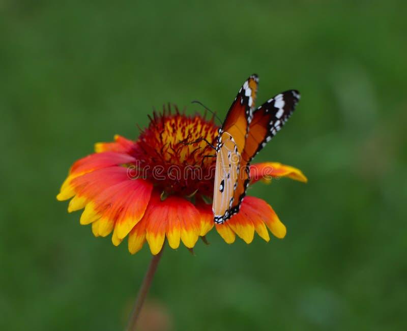 Mooie vlinderzitting op de rode gele bloem Oranje insect in de aard groene boshabitat, stock fotografie