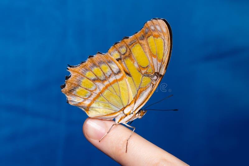Mooie vlinderzitting op de vinger van een vrouw royalty-vrije stock afbeeldingen