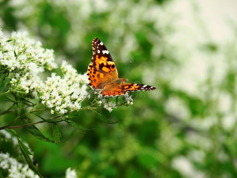 Mooie vlinderzitting op een bloem royalty-vrije stock afbeelding