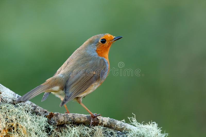 Mooie vogel met een aardig oranjerood gevederte royalty-vrije stock afbeeldingen