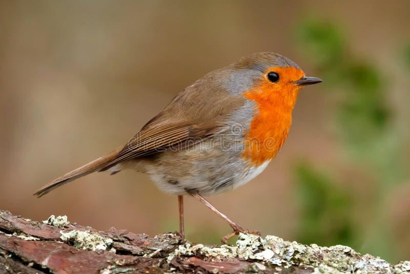 Mooie vogel met een aardig rood gevederte royalty-vrije stock afbeeldingen