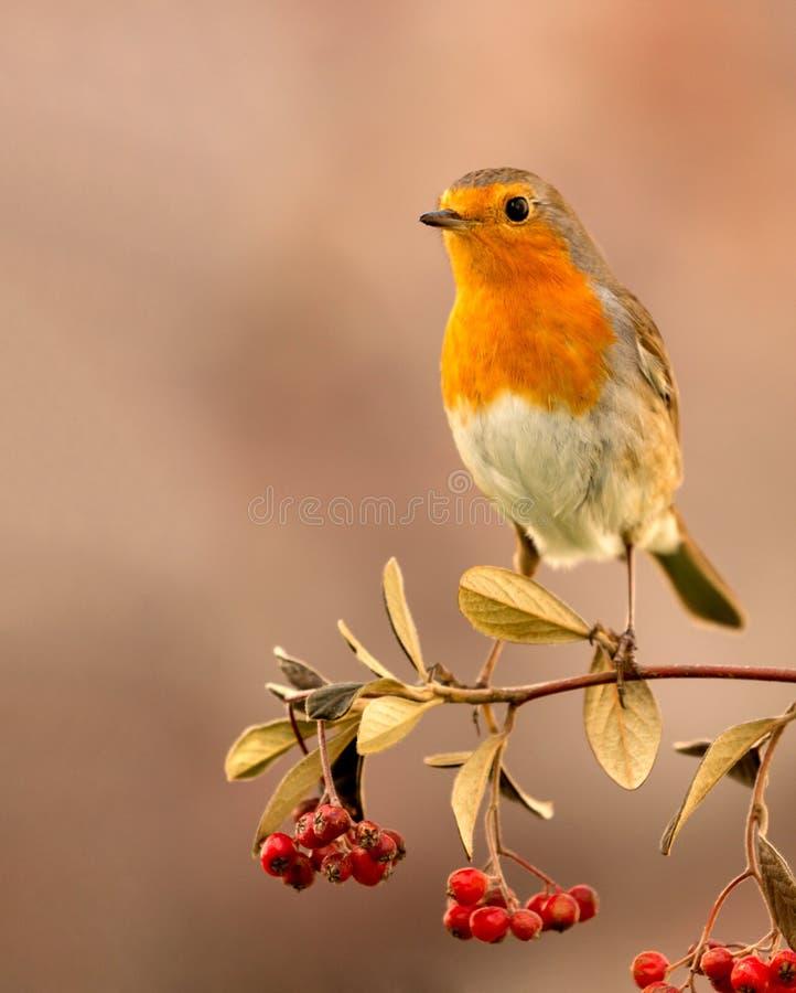 Mooie vogel met een aardig rood gevederte stock afbeelding