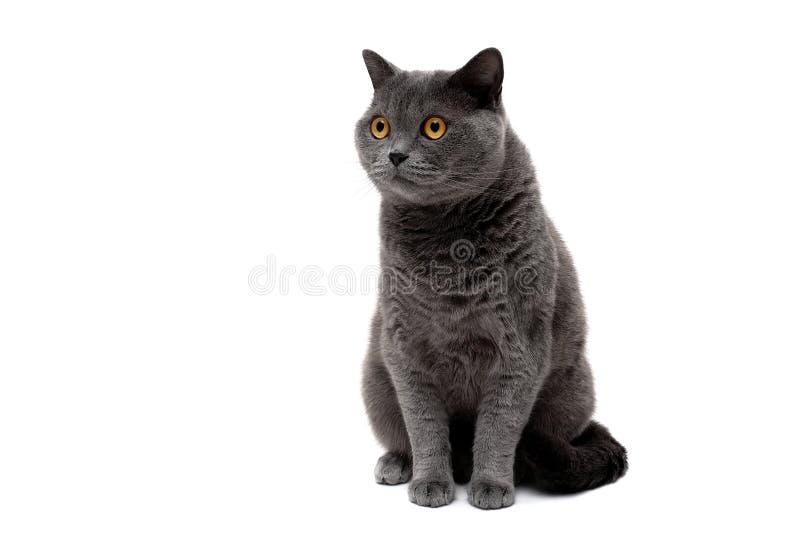 Mooie volwassen kat met gele ogen op een witte achtergrond royalty-vrije stock fotografie